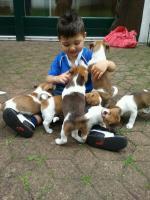 Jack Russel Terrier Welpen (tricolor)