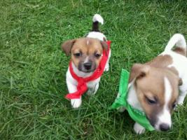 Foto 2 Jack Russel Terrier Welpen (tricolor)