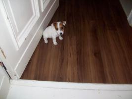 Jack-Russel-Terrier welpe!