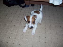 Foto 4 Jack-Russel-Terrier welpe!