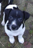 Foto 2 Jack Russell Terrier