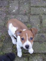 Foto 3 Jack Russell Terrier