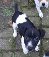 Foto 4 Jack Russell Terrier