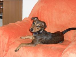 Jack Russell Terrier Mix Luna sucht ein neues liebevolles zu Hause