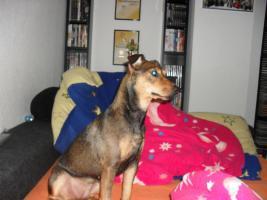 Foto 3 Jack Russell Terrier Mix Luna sucht ein neues liebevolles zu Hause