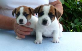 Jack Russell Terrier Reinrassige Welpen