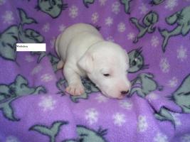 Foto 3 Jack Russell Terrier Welpen