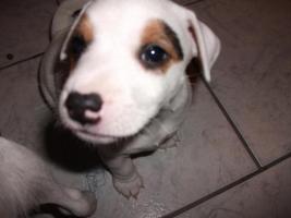Foto 6 Jack Russell Terrier Welpen