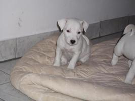 Foto 7 Jack Russell Terrier Welpen