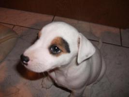 Foto 9 Jack Russell Terrier Welpen