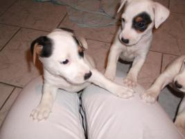 Foto 10 Jack Russell Terrier Welpen