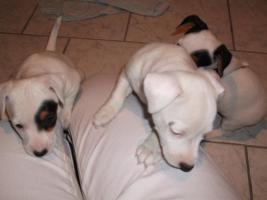 Foto 11 Jack Russell Terrier Welpen