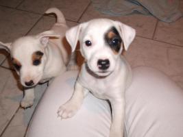 Foto 13 Jack Russell Terrier Welpen