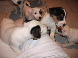 Foto 14 Jack Russell Terrier Welpen