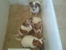 Jack-Russell-Terrier Welpen (Tricolor  )