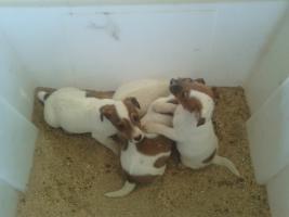 Foto 2 Jack-Russell-Terrier Welpen (Tricolor  )