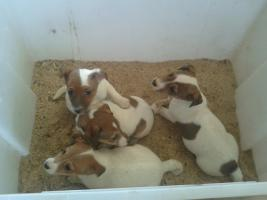 Foto 3 Jack-Russell-Terrier Welpen (Tricolor  )