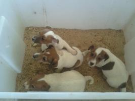 Foto 4 Jack-Russell-Terrier Welpen (Tricolor  )
