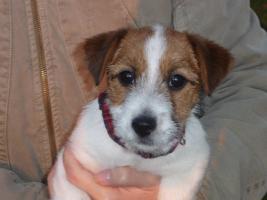 Jack Russell Terrier letzte Rüde