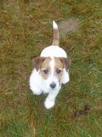 Foto 2 Jack Russell Terrier letzte Rüde