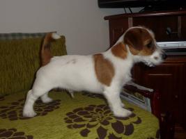 Foto 3 Jack Russell Terrier letzte Rüde