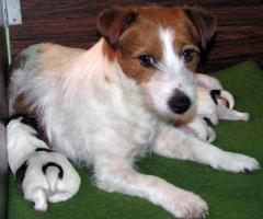 Foto 4 Jack Russell Terrier - Welpen - Rüden