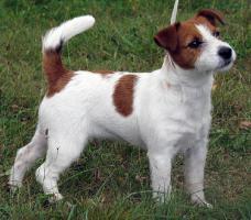 Foto 5 Jack Russell Terrier - Welpen - Rüden