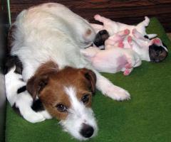 Foto 11 Jack Russell Terrier - Welpen - Rüden