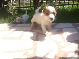 Foto 2 Jack Russell Welpen aus Top-Qualit�t Eltern (CHSRB)