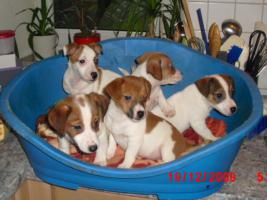 Jack - Russell - Terrier Welpen