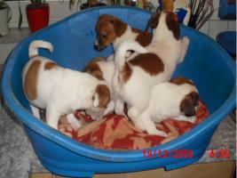 Foto 2 Jack - Russell - Terrier Welpen