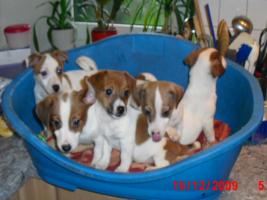 Foto 3 Jack - Russell - Terrier Welpen