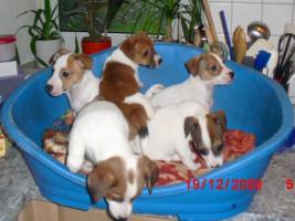 Foto 4 Jack - Russell - Terrier Welpen