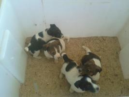 Jack - Russell - Terrier Welpen (Glatthaar kein Parson)