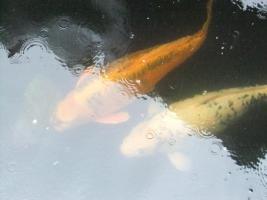 Foto 4 Japanische Koi Karpfen