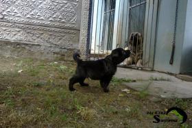 Foto 3 Jugoslawischer Hirtenhund - Sarplaninac FCI 4302
