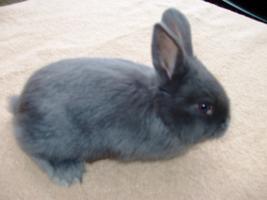 Foto 3 Junge Blaue Wiener Hasen zu verkaufen!