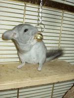Foto 4 Junge Chinchilla :-)