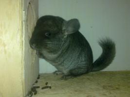Foto 5 Junge Chinchilla :-)