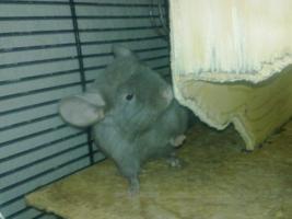 Foto 2 Junge Chinchilla in verschiedenen Farben :-)