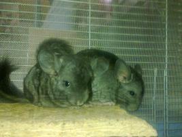 Foto 4 Junge Chinchilla in verschiedenen Farben :-)