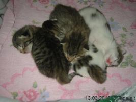 Junge Kätzchen abzugeben