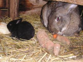 Junge Kaninchen zu verkaufen (größere Rasse)