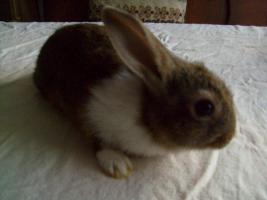 Foto 5 Junge Kanninchen abzugeben.
