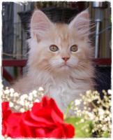 Junge Maine Coon Katzen suchen neue Dosis zum spielen, schmusen und liebhaben!!!