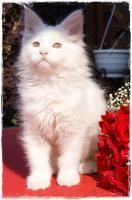Foto 2 Junge Maine Coon Katzen suchen neue Dosis zum spielen, schmusen und liebhaben!!!