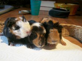 Junge Meerschweinchen