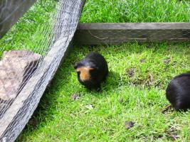 Foto 2 Junge Meerschweinchen