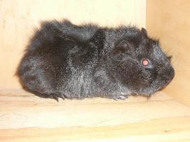 Foto 3 Junge Meerschweinchen WG such neues zu Hause