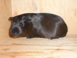 Foto 4 Junge Meerschweinchen WG such neues zu Hause